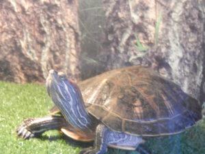 Красноухая черепаха греется